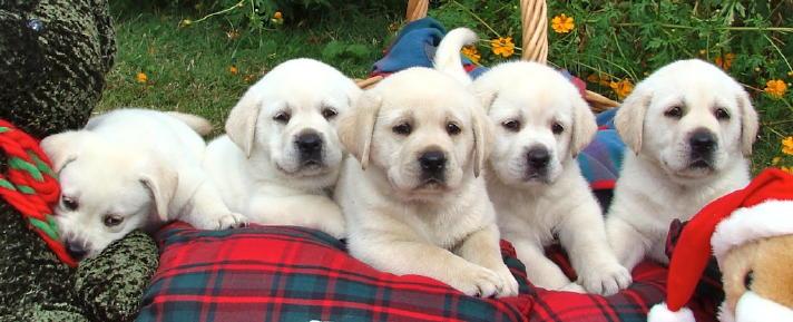 Classic Labrador Retrievers